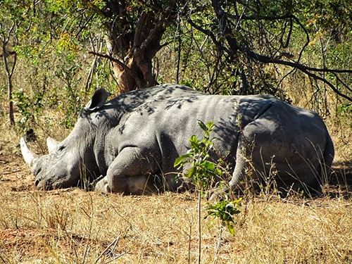 A rhino sleeping on the grass